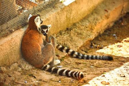 Lemures rescatados