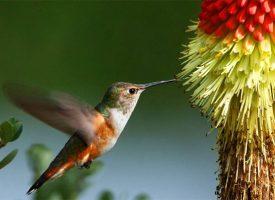 Migraciones colibrí