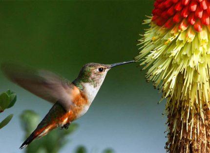 La edad y el sexo influyen en los patrones migratorios del colibrí rufo