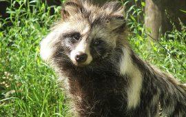 Los perros mapache criados en China por sus pieles pueden transmitir el Covid-19
