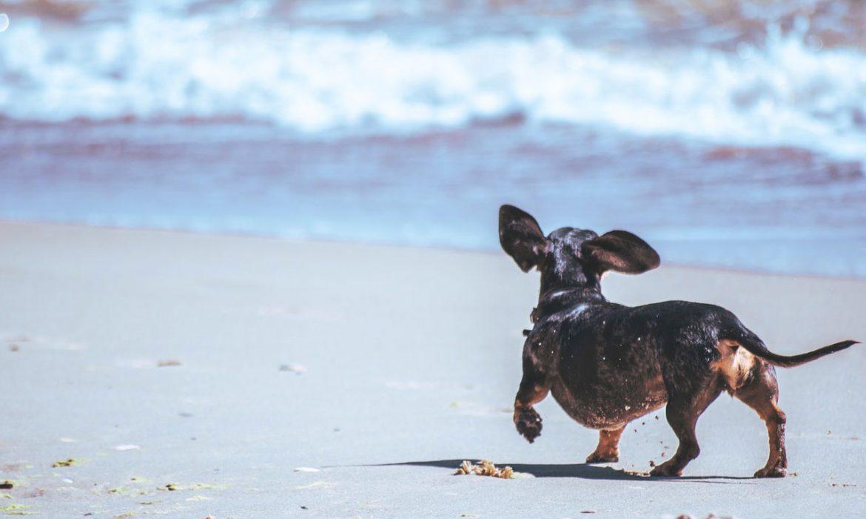 Perro paseando playa