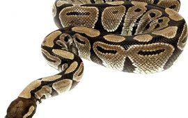 Enfermedades más comunes en las serpientes