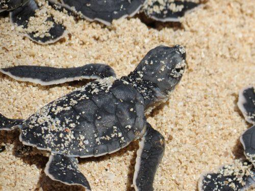 Cría de tortugas marinas