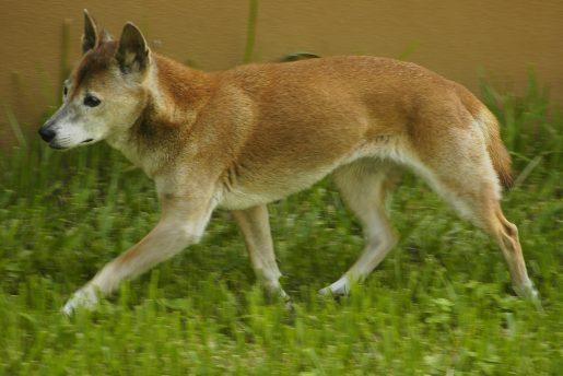 Perro de Nueva Guinea -