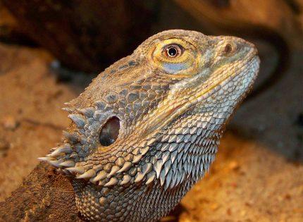 Los lagartos entran en la fase REM del sueño igual que los seres humanos