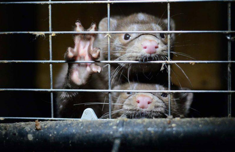 WWF pide al Gobierno el cierre de todas las granjas de visón americano en España