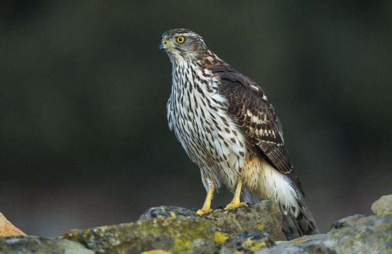 Confirmado un caso de virus del Nilo Occidental en un ave rapaz en Cataluña