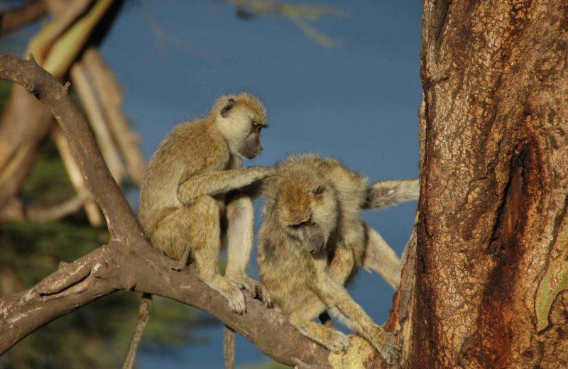 Los babuinos que tienen amigas viven más