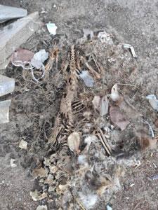 Cadaver animal