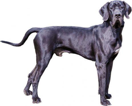 Dogo alemán