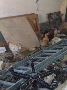 Gallos rescatados