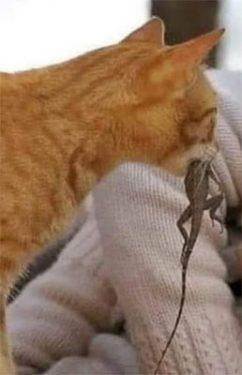 Gato con lagarto