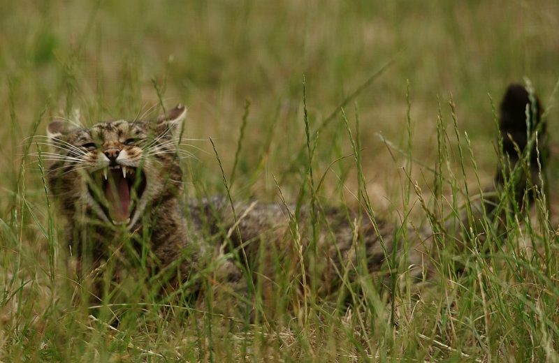 Andalucía asesora como experto en el programa de cría en cautividad del gato montés de Escocia