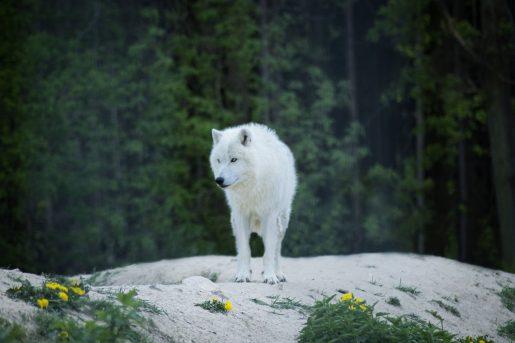 Soñar con un lobo blanco