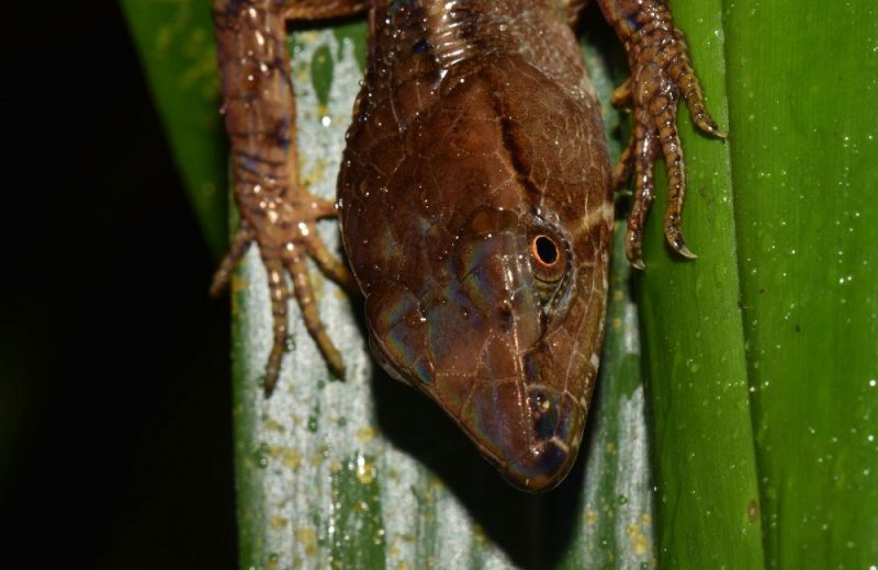 Magdalenasaura leurosquama, un nuevo linaje de reptiles