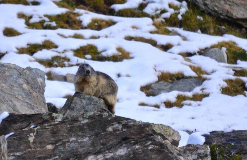 Las marmotas se comunican mediante dialectos
