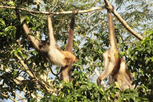 Monos araña