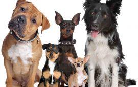 Una investigación de UAX estudia el efecto del SARS-CoV-2 en perros