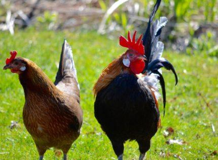 Descubren que los pollos domesticados tienen cerebros más pequeños