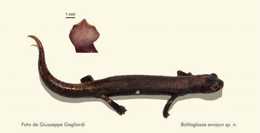 Salamandra Bolitoglossa awajun