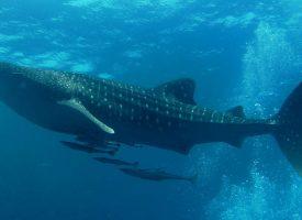 Tiburón ballena - Foto propiedad de: Abe Khao Lak
