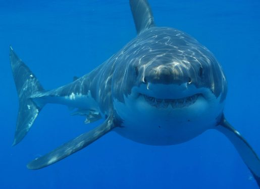 Tiburón blanco - Carcharodon carcharias