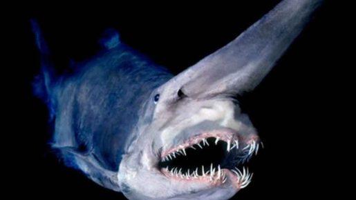 Tiburón duende - Mitsukurina owstoni