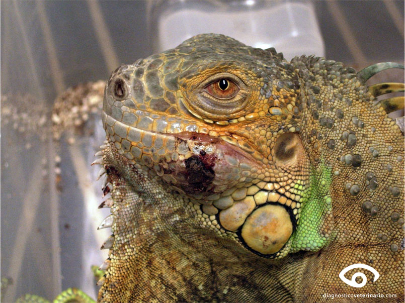 Absceso submandibular en Iguana iguana