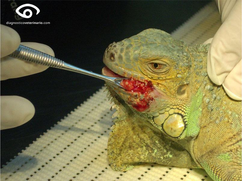 Curetraje del absceso en Iguana iguana. Debido a la consistencia sólida del pus siempre debemos ayudarnos con una cucharilla para asegurar la limpieza completa del absceso.