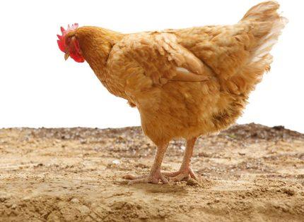 Seguridad y bienestar para tus gallinas