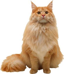 Gato de pelo largo