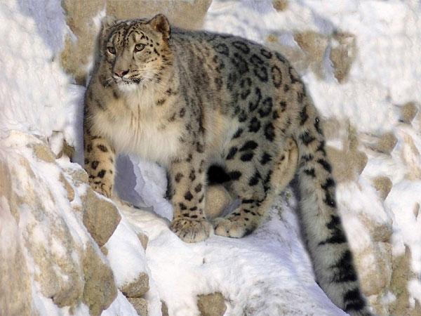 Leopardo de las nieves - Animales en peligro de extinción