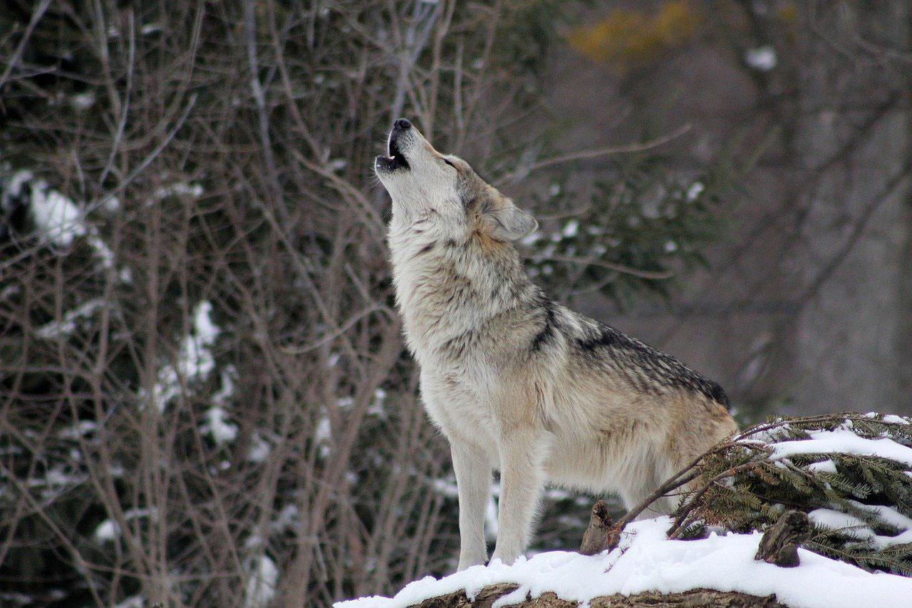 Lobo aullándo