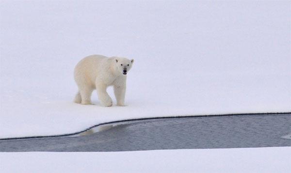 Animales en peligro de extinción - Oso polar