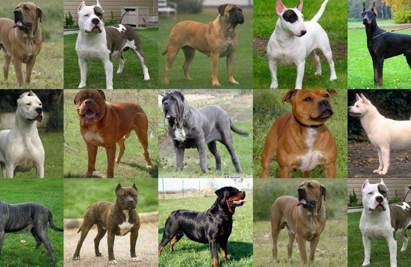 Derribando mitos sobre los Perros Potencialmente Peligrosos (PPP)