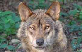 El lobo en el Listado de Especies Silvestres en Régimen de Protección Especial
