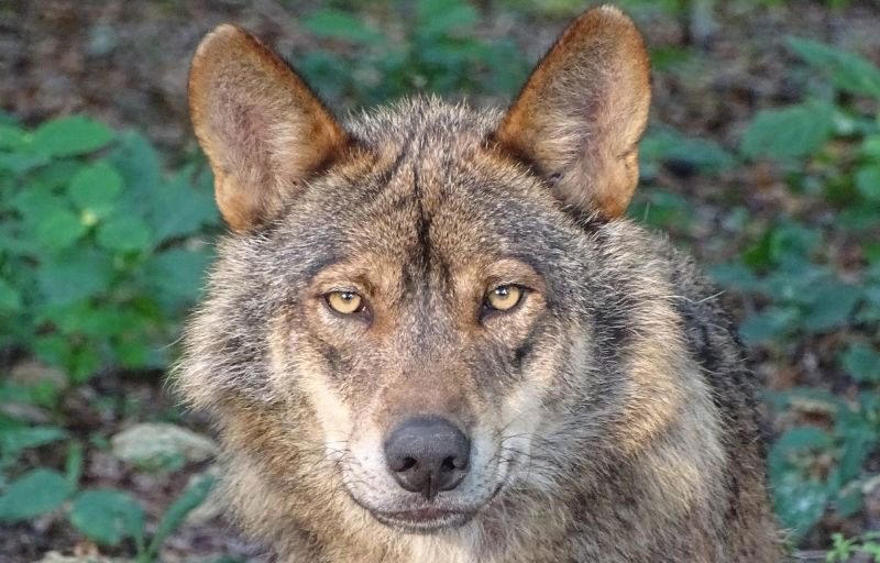 El lobo ibérico entra a formar parte del Listado de Especies en Régimen de Especial Protección