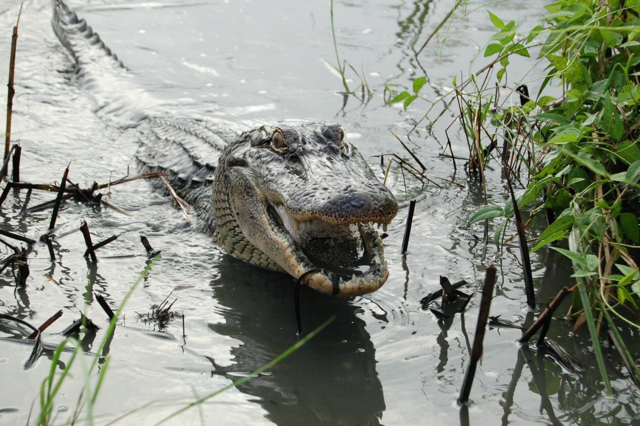 Aligator americano