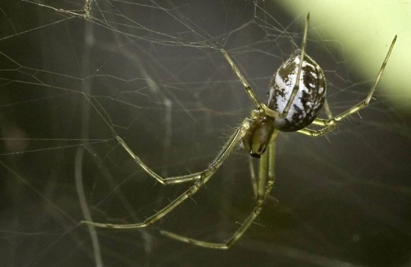 Araña de la familia Linyphiidae. / Wikipedia