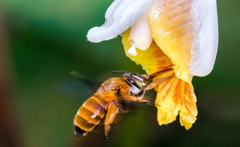 Abeja de la especie Amegilla insularis polinizando una flor. / Zestin Soh