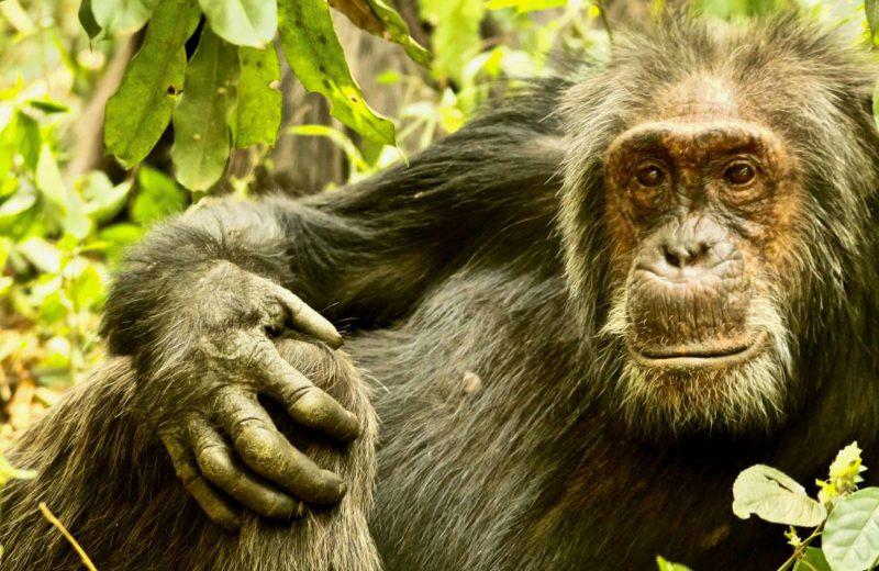 Los chimpancés mantienen pocos pero buenos amigos cuando envejecen