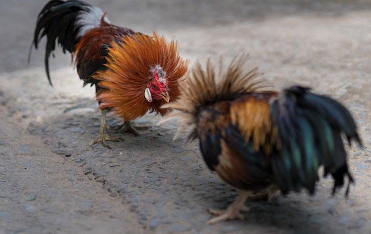 Maltrato animal, Oviedo intervenidos 11 gallos de pelea