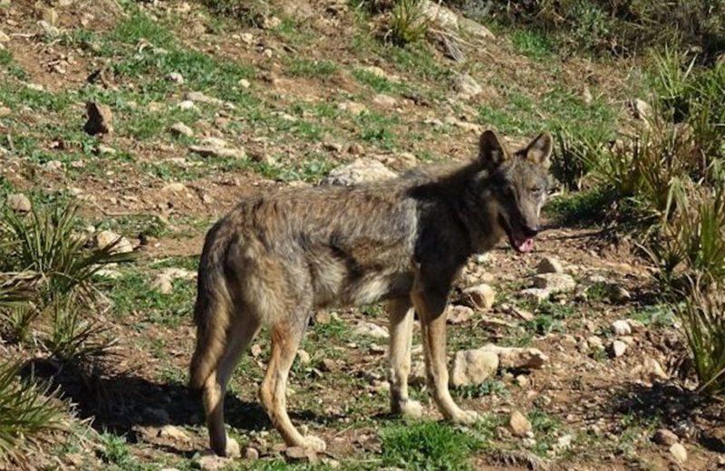 El Gobierno de La Rioja constituirá la Mesa de la Ganadería Extensiva y el lobo