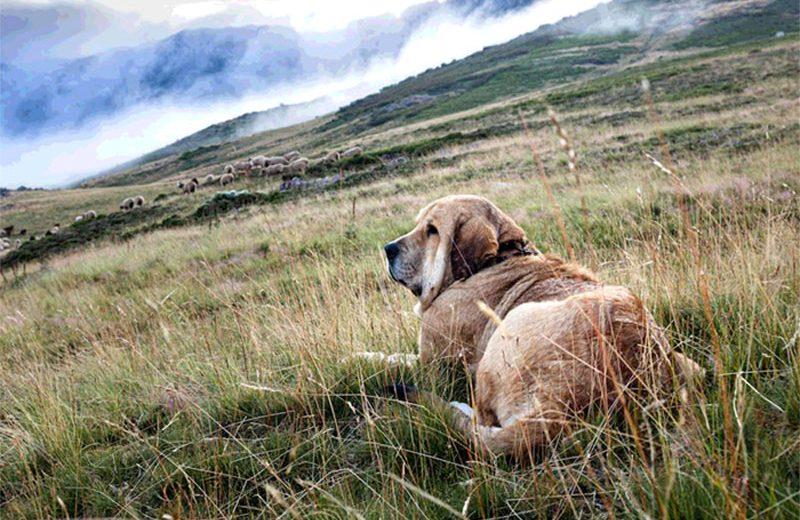 La RSCE pide medidas para garantizar la supervivencia de las razas caninas españolas