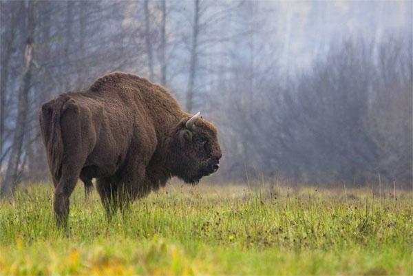 Bison bonasus, el bisonte europeo se recupera