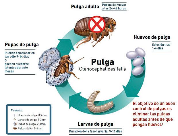 Ciclo vida pulgas