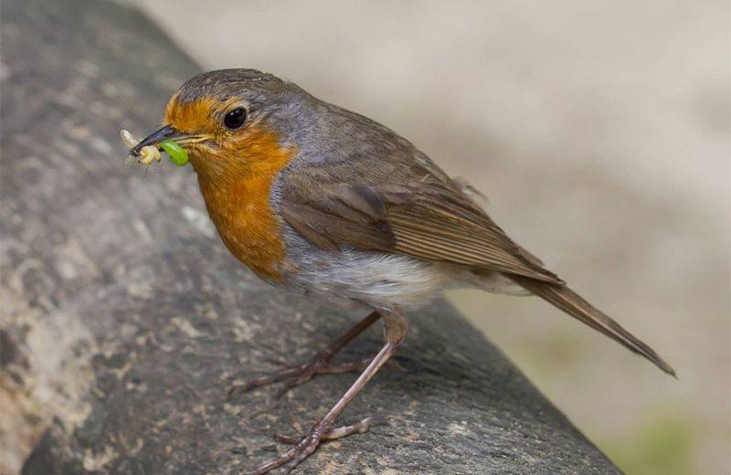 Las aves insectívoras escogen a las presas por su color