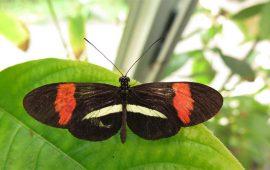 Los machos de mariposa marcan a sus parejas con un olor repulsivo para disuadir a otros pretendientes