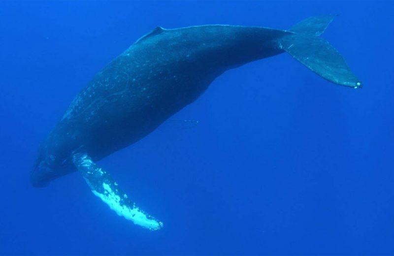 Los cantos de las ballenas jorobadas reflejan los cambios de sus poblaciones