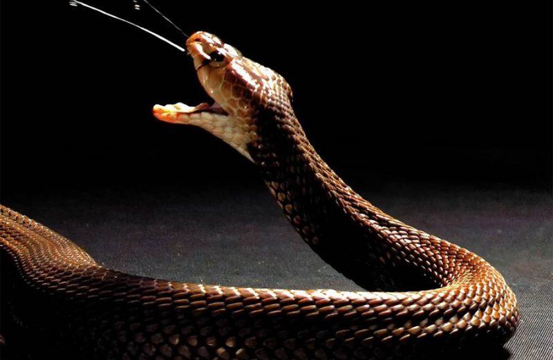 El veneno de las cobras escupidoras evolucionó hacia una función defensiva